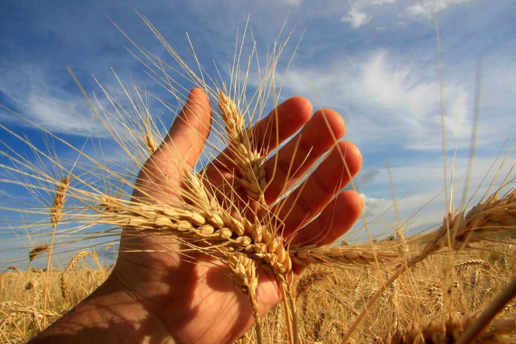 750 mil toneladas de trigo terão taxa de importação isenta